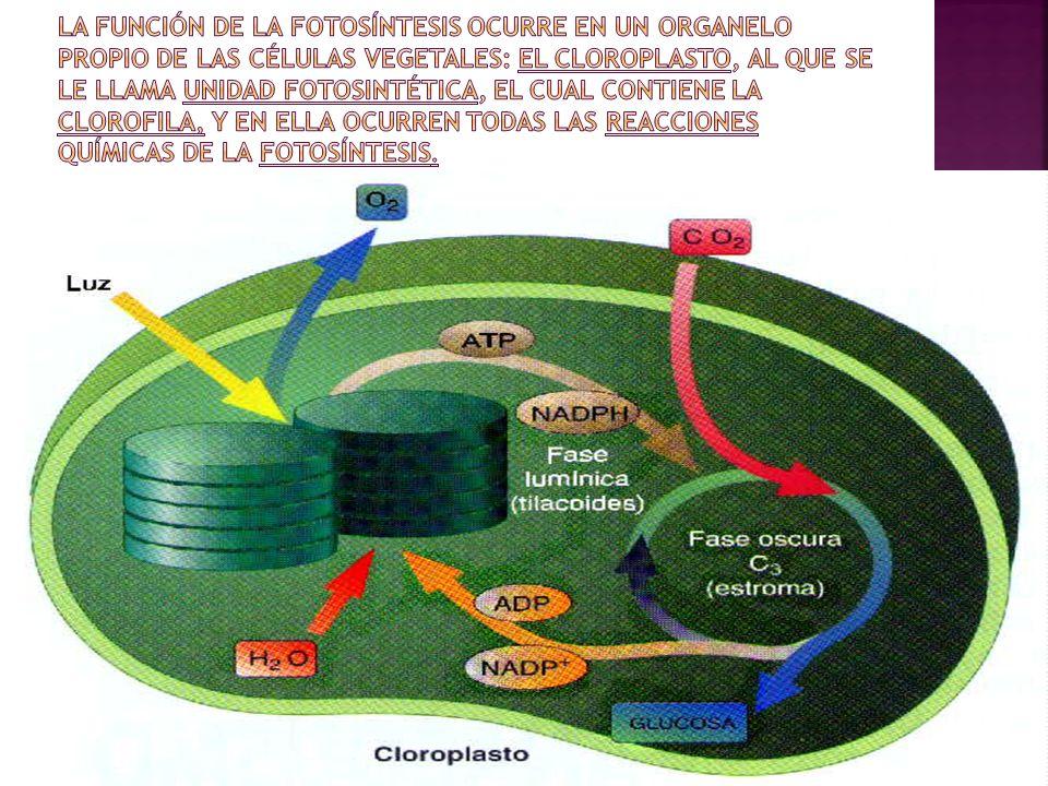La función de la fotosíntesis ocurre en un organelo propio de las células vegetales: el cloroplasto, al que se le llama unidad fotosintética, el cual contiene la clorofila, y en ella ocurren todas las reacciones químicas de la fotosíntesis.