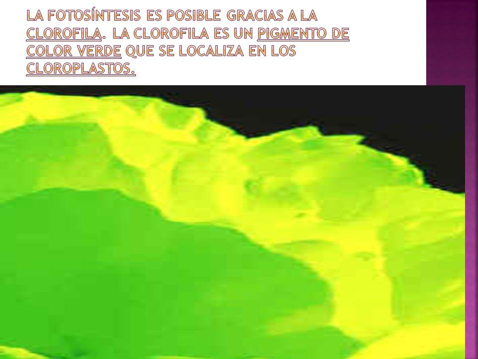 La fotosíntesis es posible gracias a la clorofila