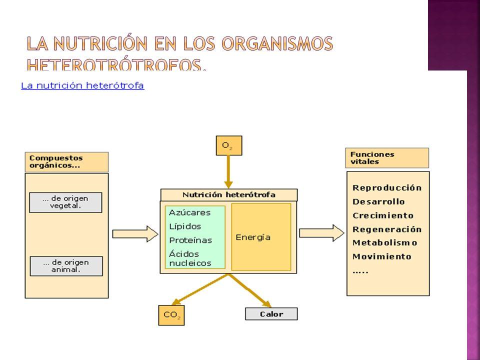 La nutrición en los organismos heterotrótrofos.
