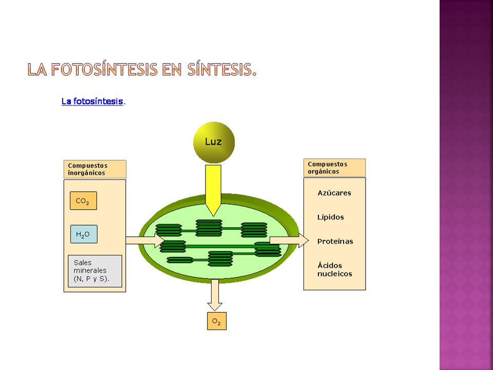 La fotosíntesis en síntesis.