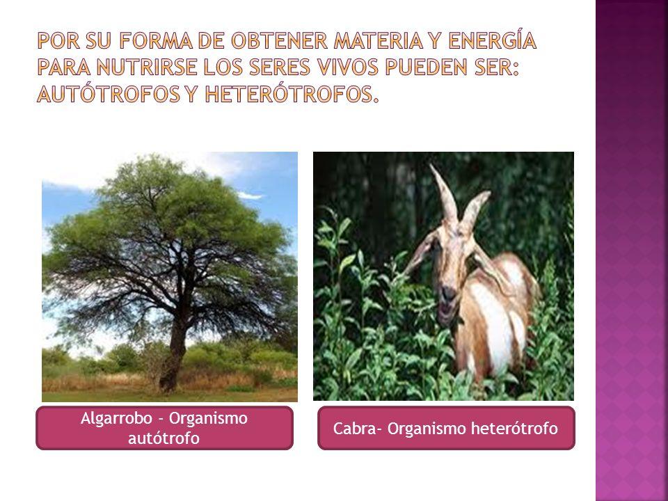 Por su forma de obtener materia y energía para nutrirse los seres vivos pueden ser: autótrofos y heterótrofos.