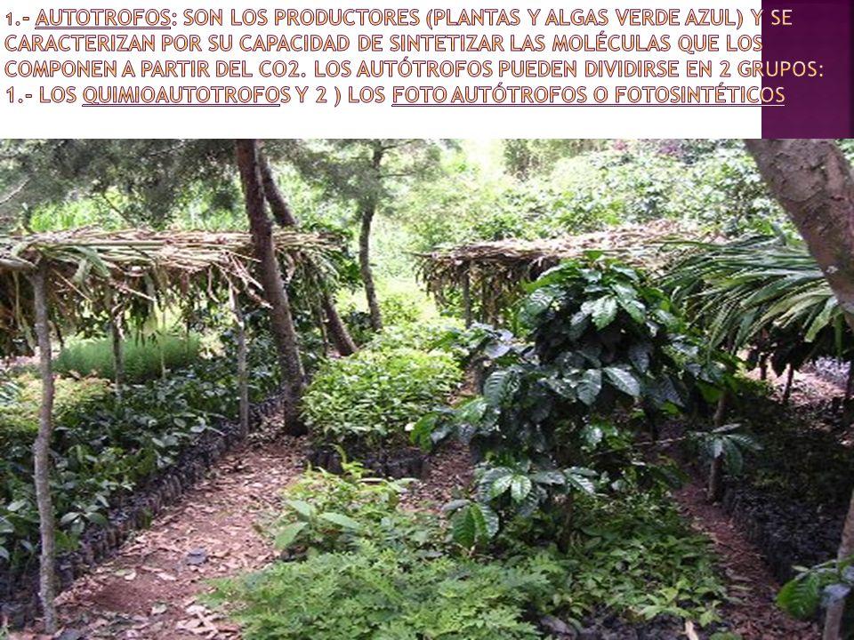 1.- AUTOTROFOS: Son los productores (plantas y algas verde azul) y se caracterizan por su capacidad de sintetizar las moléculas que los componen a partir del CO2.