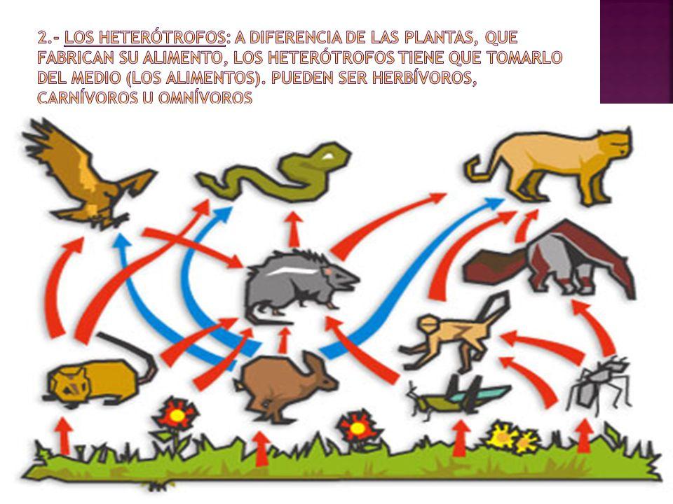 2.- Los heterótrofos: A diferencia de las plantas, que fabrican su alimento, los heterótrofos tiene que tomarlo del medio (los Alimentos).