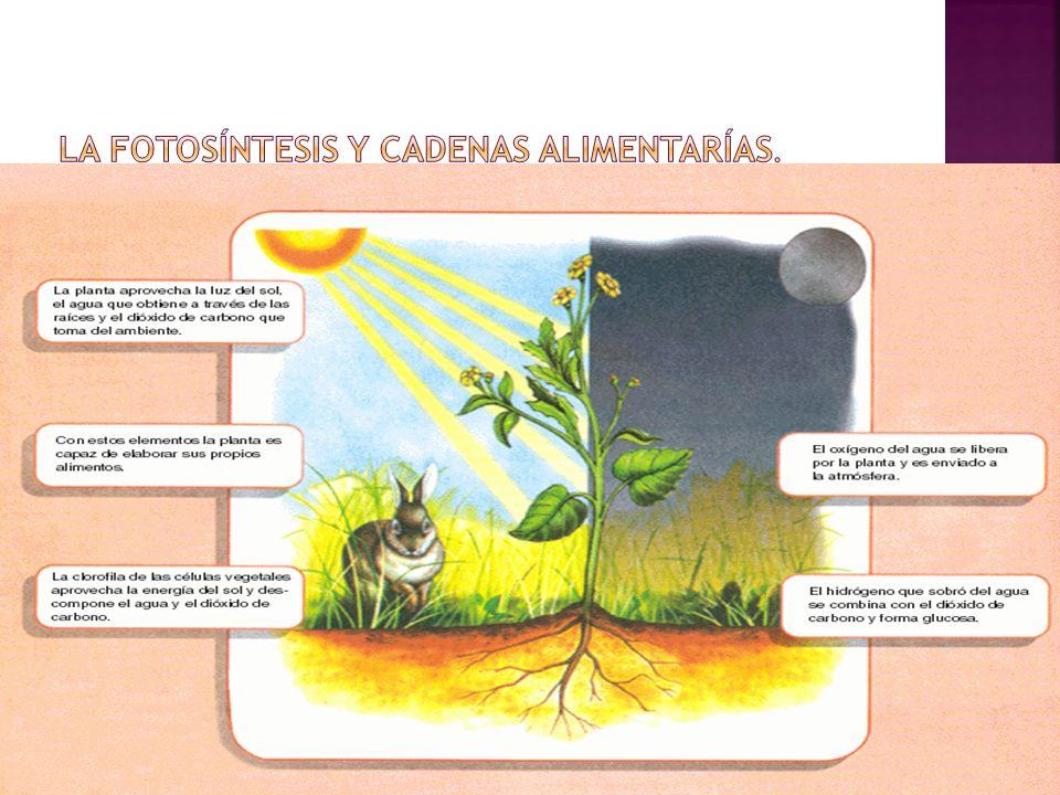 La fotosíntesis y cadenas alimentarías.