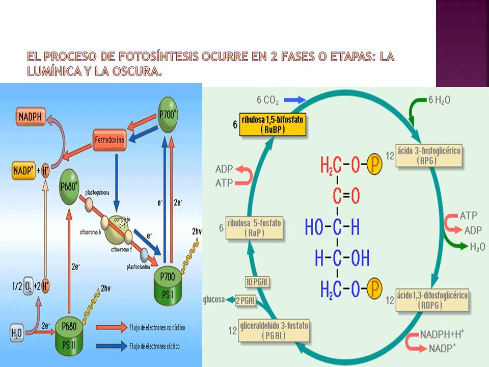 El proceso de fotosíntesis ocurre en 2 fases o etapas: La lumínica y la oscura.