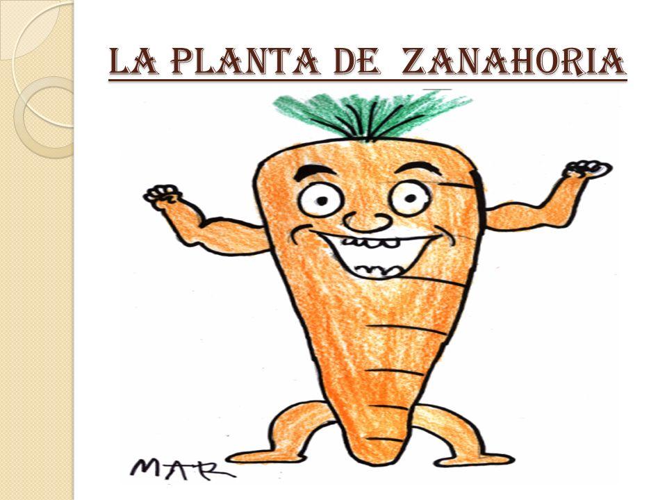 LA PLANTA DE ZANAHORIA