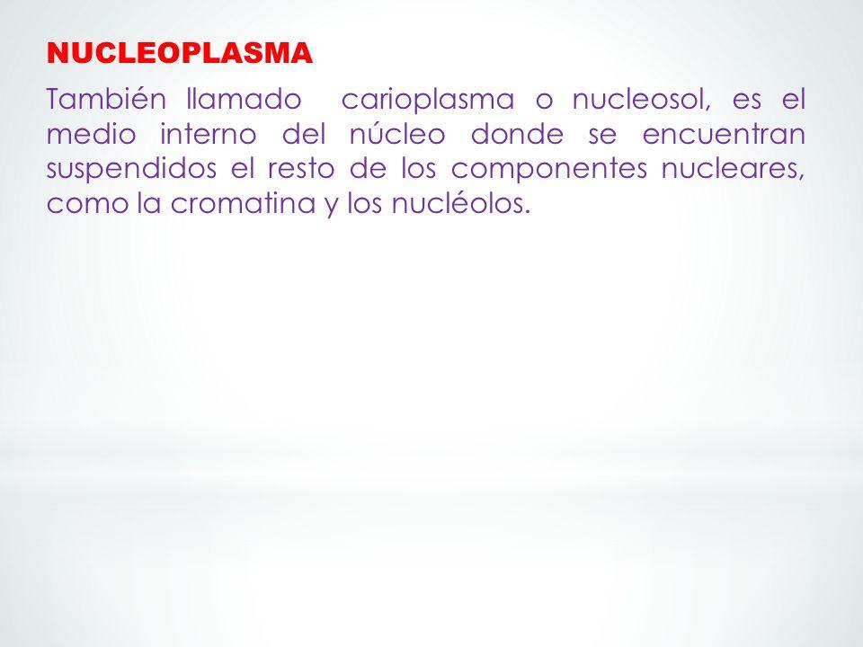 NUCLEOPLASMA También llamado carioplasma o nucleosol, es el medio interno del núcleo donde se encuentran suspendidos el resto de los componentes nucleares, como la cromatina y los nucléolos.