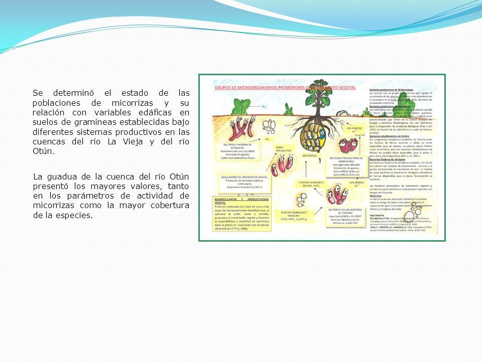 Se determinó el estado de las poblaciones de micorrizas y su relación con variables edáficas en suelos de gramíneas establecidas bajo diferentes sistemas productivos en las cuencas del río La Vieja y del río Otún.