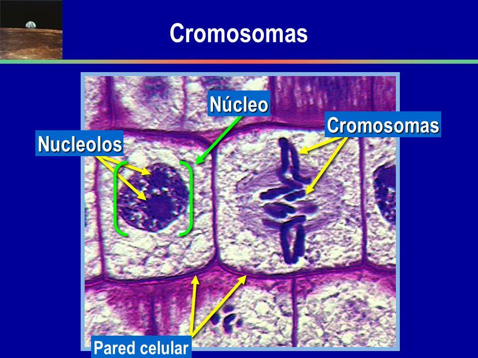 Cromosomas Núcleo Cromosomas Nucleolos Pared celular