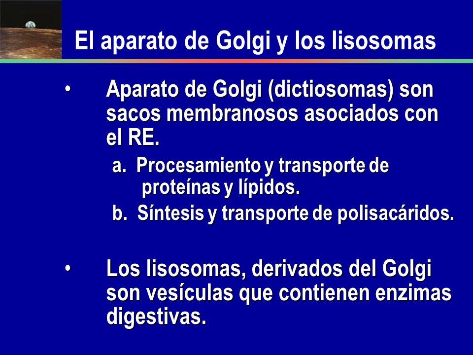 El aparato de Golgi y los lisosomas