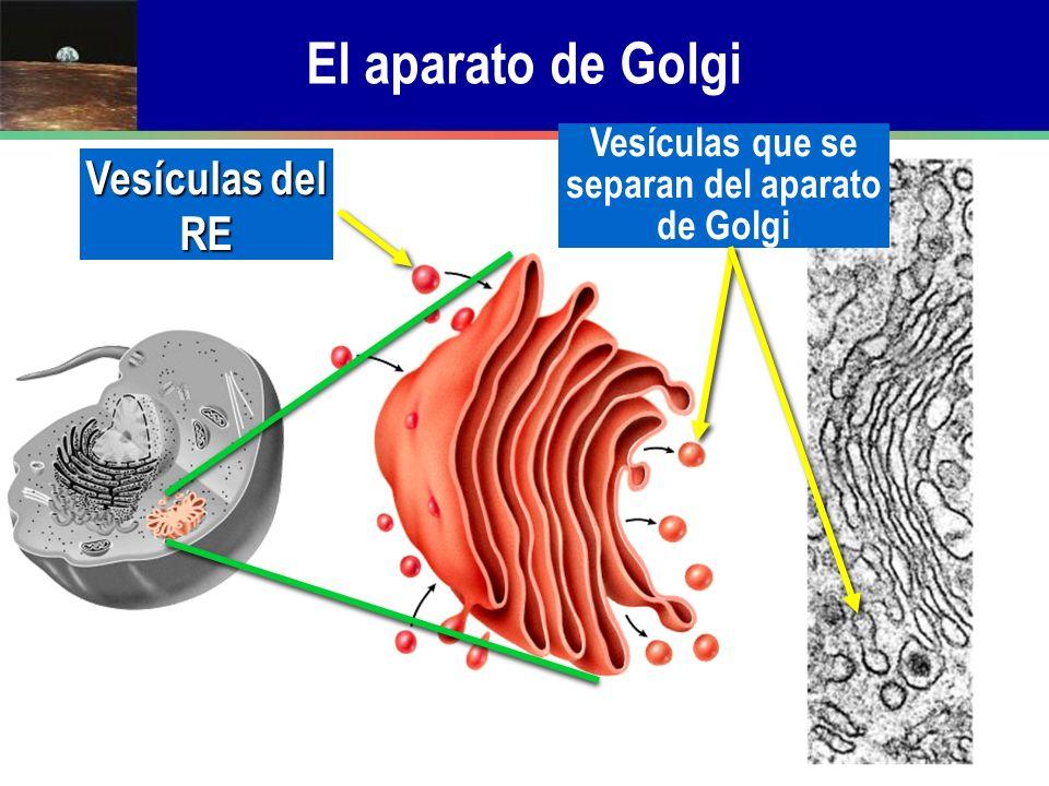 Vesículas que se separan del aparato de Golgi
