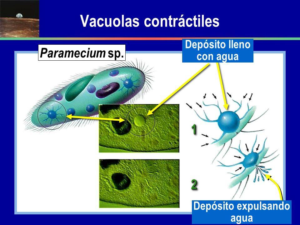Vacuolas contráctiles