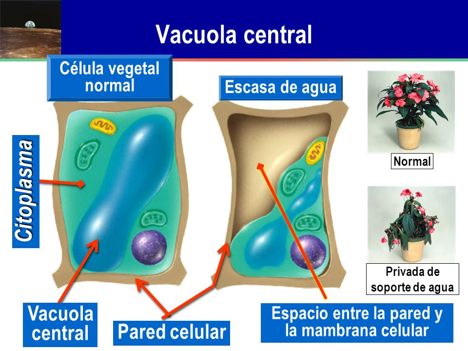 Vacuola central Citoplasma Vacuola central Pared celular