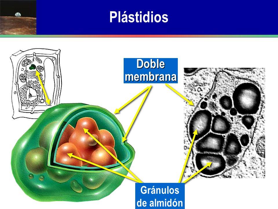 Plástidios Doble membrana Gránulos de almidón
