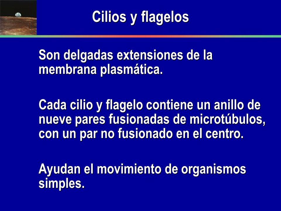 Cilios y flagelos Son delgadas extensiones de la membrana plasmática.