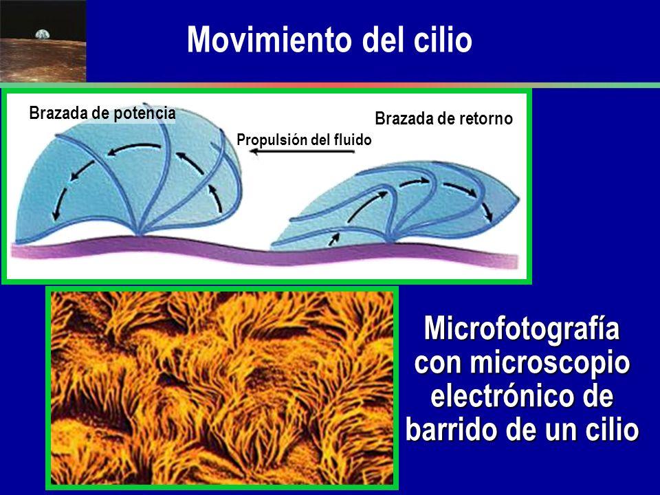 Microfotografía con microscopio electrónico de barrido de un cilio