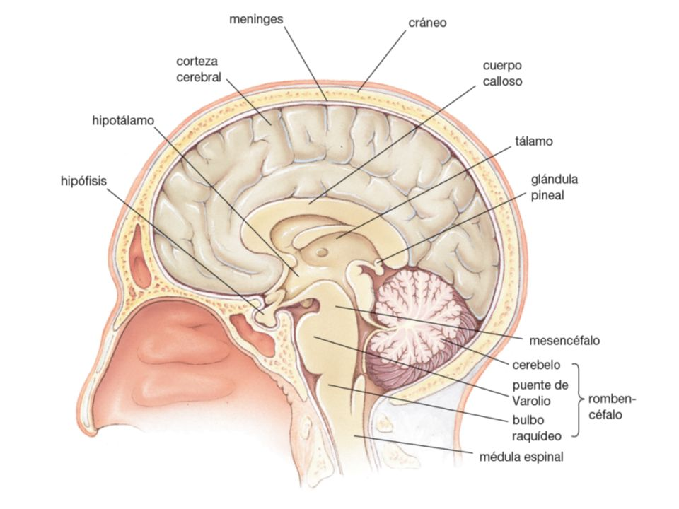 FIGURE 38-12 The human brain