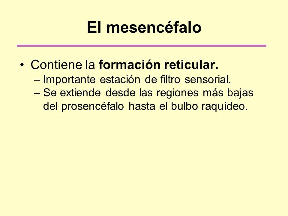 El mesencéfalo Contiene la formación reticular.