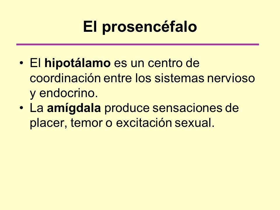 El prosencéfaloEl hipotálamo es un centro de coordinación entre los sistemas nervioso y endocrino.
