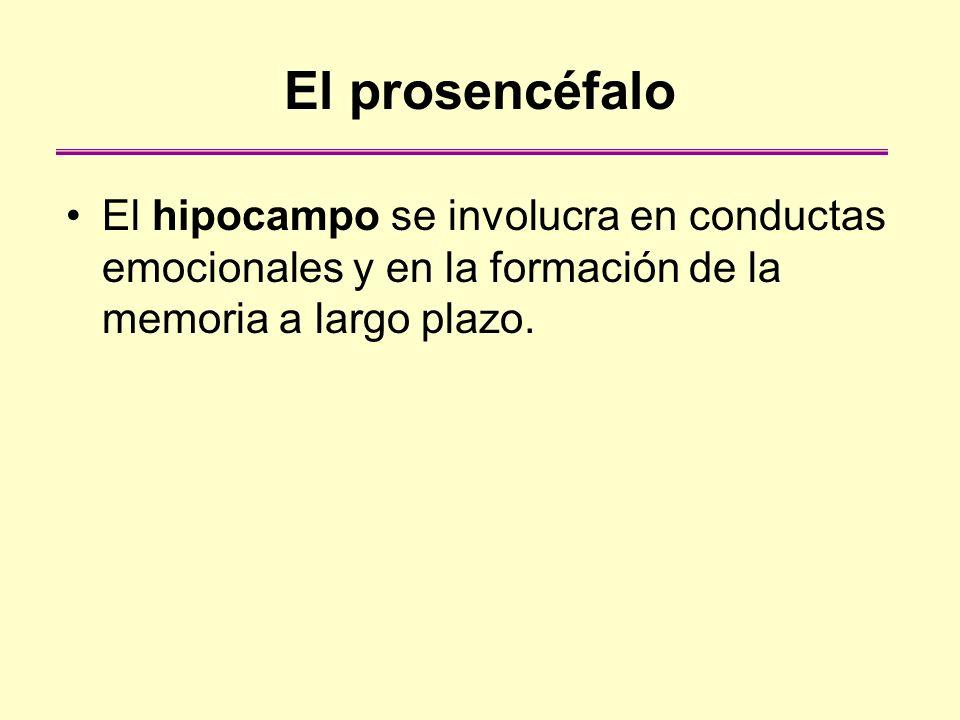 El prosencéfaloEl hipocampo se involucra en conductas emocionales y en la formación de la memoria a largo plazo.