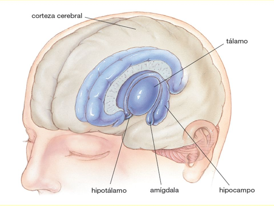 FIGURE 38-13 The limbic system and thalamus
