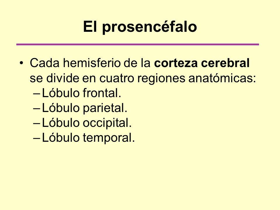 El prosencéfalo Cada hemisferio de la corteza cerebral se divide en cuatro regiones anatómicas: Lóbulo frontal.