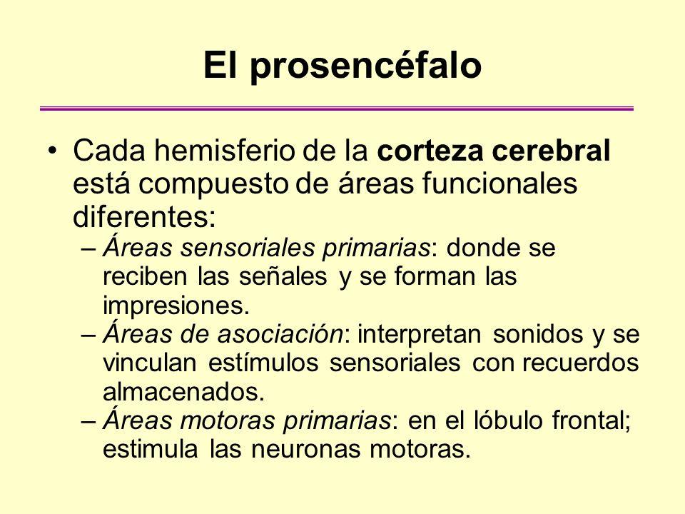 El prosencéfalo Cada hemisferio de la corteza cerebral está compuesto de áreas funcionales diferentes: