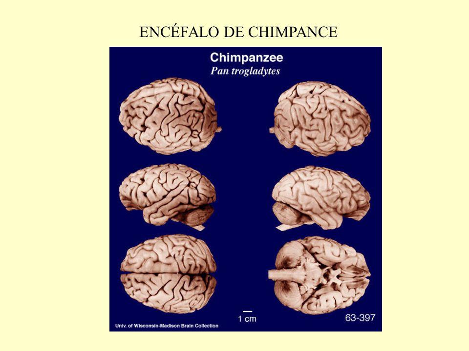 ENCÉFALO DE CHIMPANCE