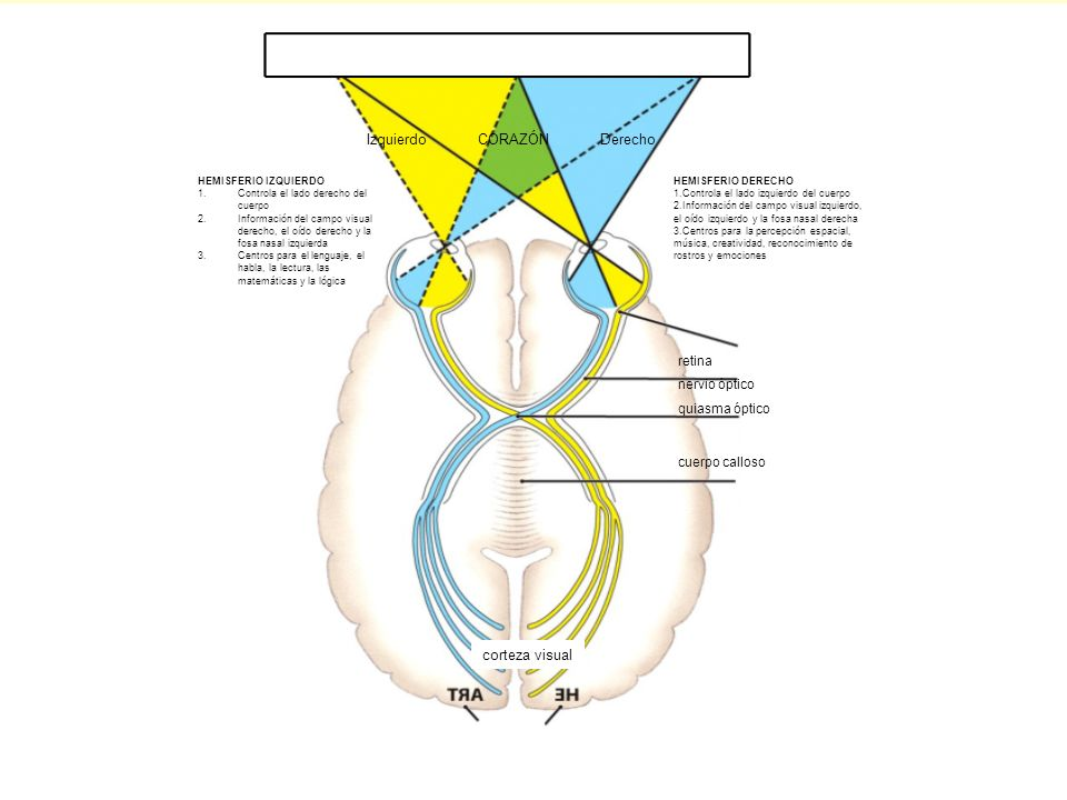 FIGURE 38-15 Specialization of the cerebral hemispheres