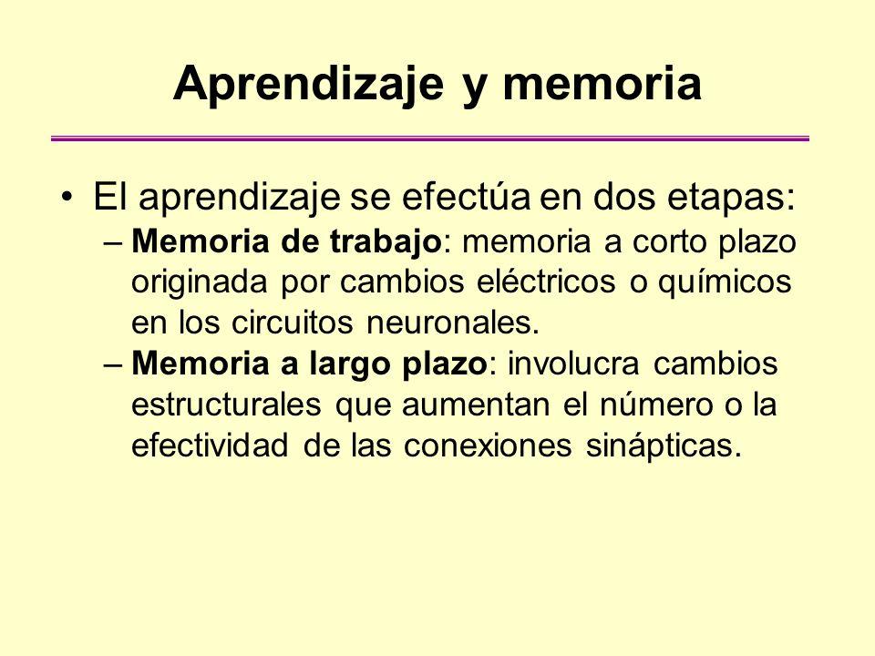 Aprendizaje y memoria El aprendizaje se efectúa en dos etapas: