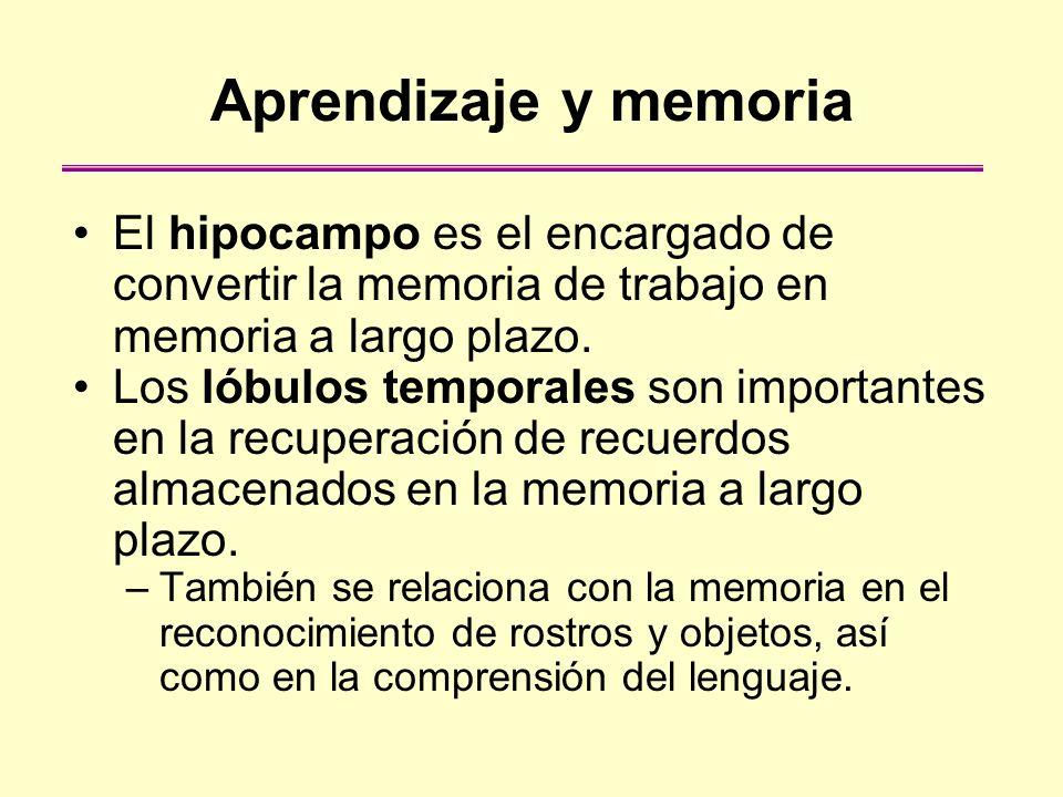 Aprendizaje y memoria El hipocampo es el encargado de convertir la memoria de trabajo en memoria a largo plazo.