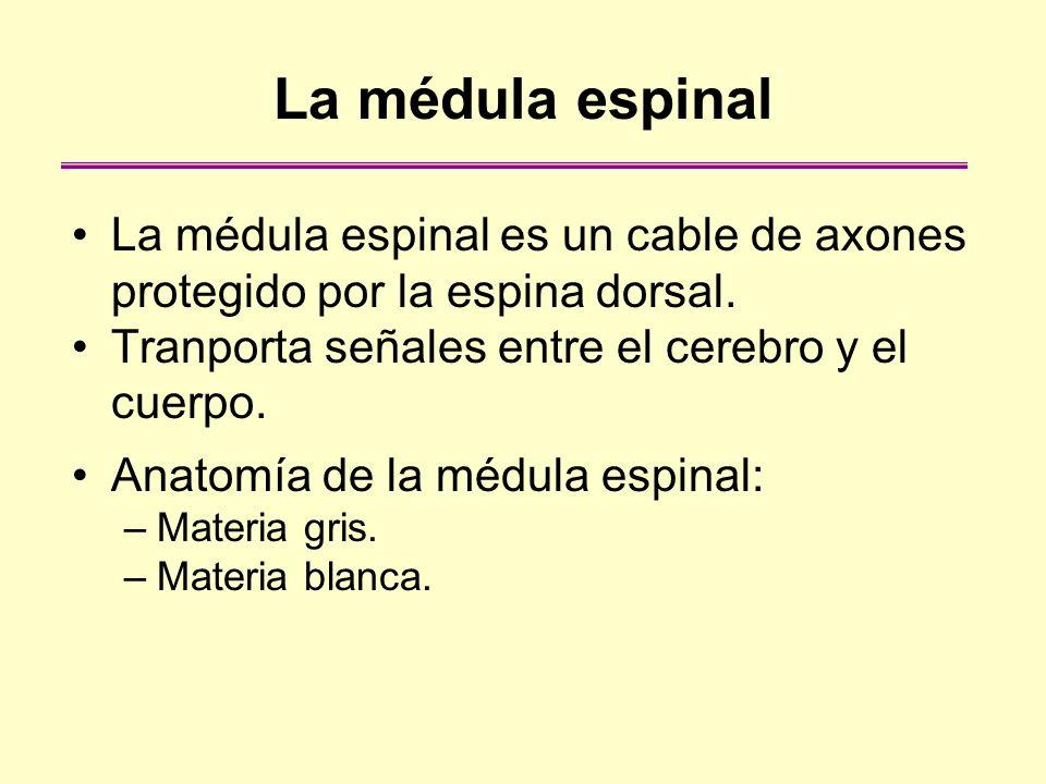 La médula espinal La médula espinal es un cable de axones protegido por la espina dorsal. Tranporta señales entre el cerebro y el cuerpo.