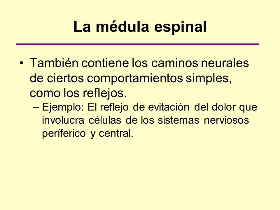 La médula espinalTambién contiene los caminos neurales de ciertos comportamientos simples, como los reflejos.