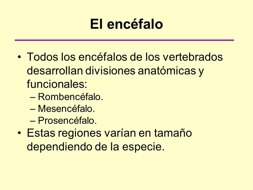 El encéfaloTodos los encéfalos de los vertebrados desarrollan divisiones anatómicas y funcionales: Rombencéfalo.