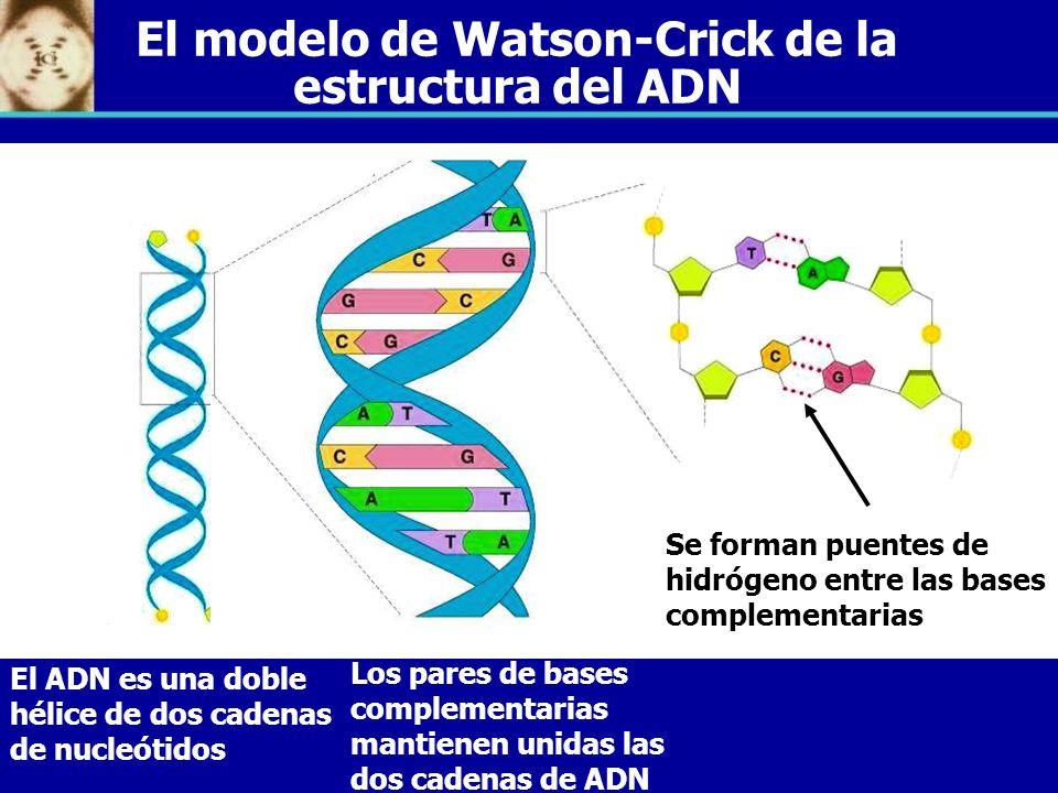material gen233tico el adn la mol233cula de la herencia ppt