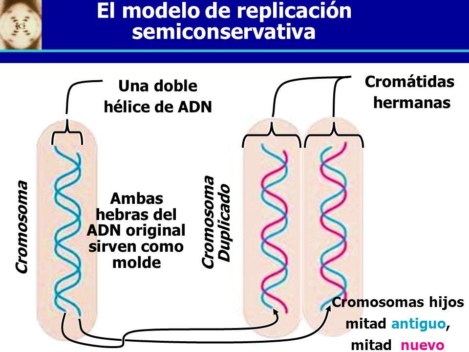 El modelo de replicación semiconservativa