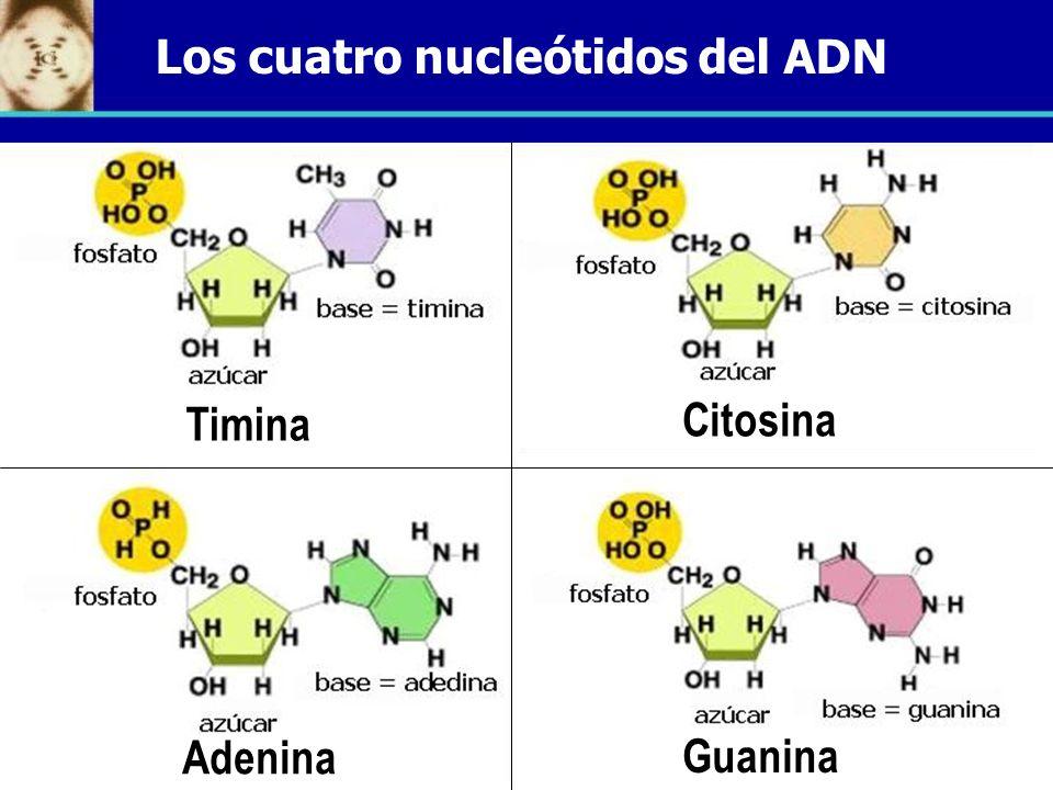 Los cuatro nucleótidos del ADN
