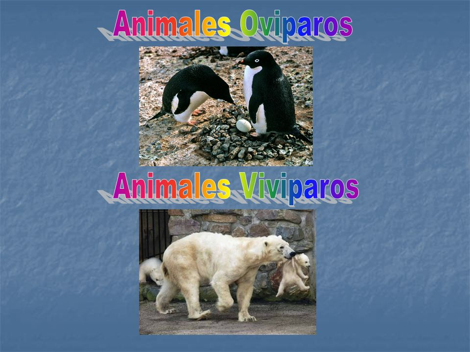 Animales Oviparos Animales Viviparos