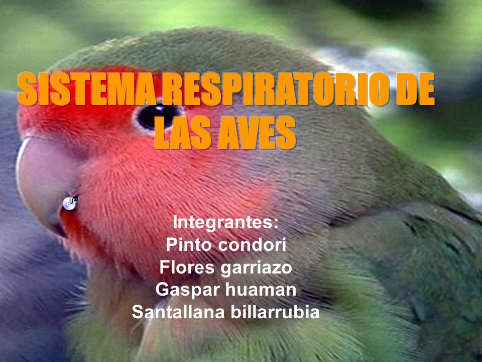 SISTEMA RESPIRATORIO DE LAS AVES Santallana billarrubia