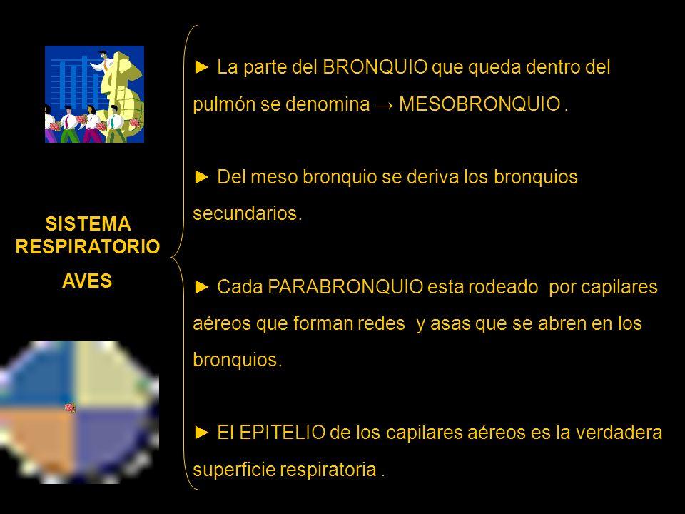 ► La parte del BRONQUIO que queda dentro del pulmón se denomina → MESOBRONQUIO .