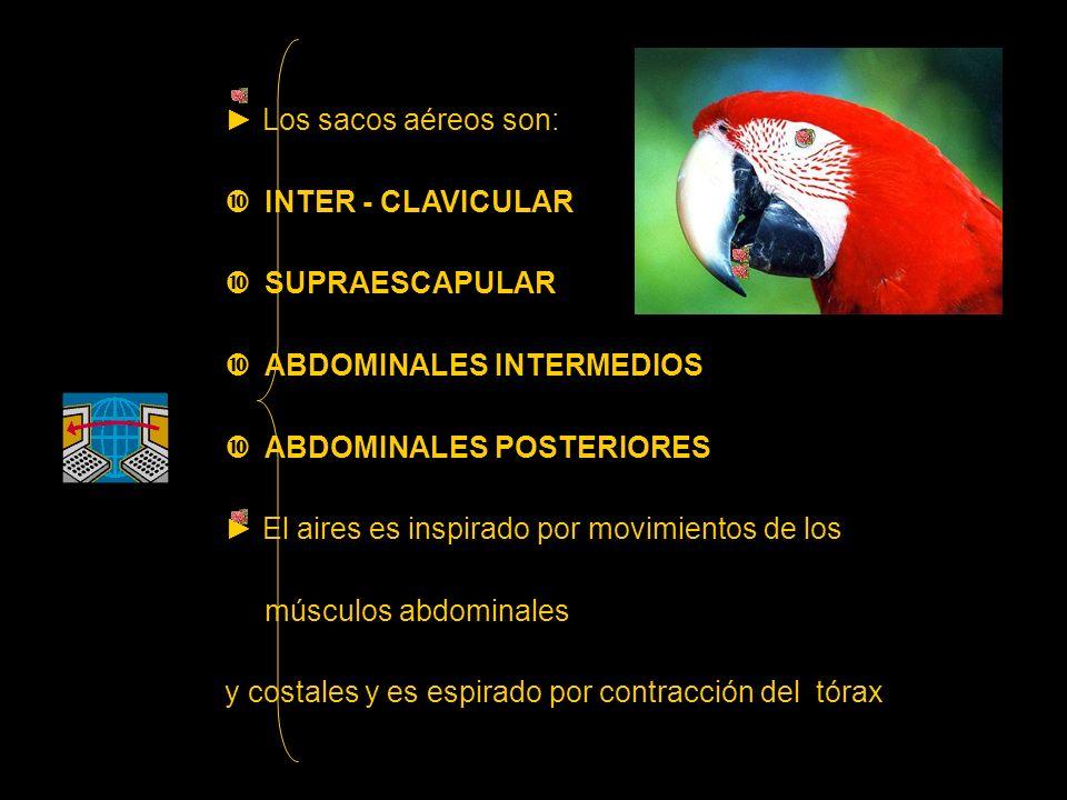 ► Los sacos aéreos son: INTER - CLAVICULAR. SUPRAESCAPULAR. ABDOMINALES INTERMEDIOS. ABDOMINALES POSTERIORES.