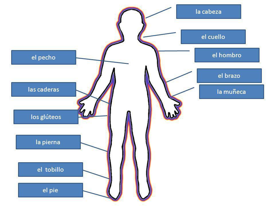 la cabeza el cuello. el hombro. el pecho. el brazo. las caderas. la muñeca. los glúteos. la pierna.