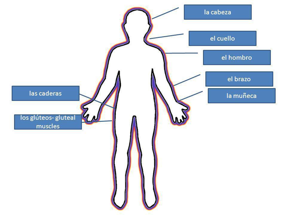los glúteos- gluteal muscles