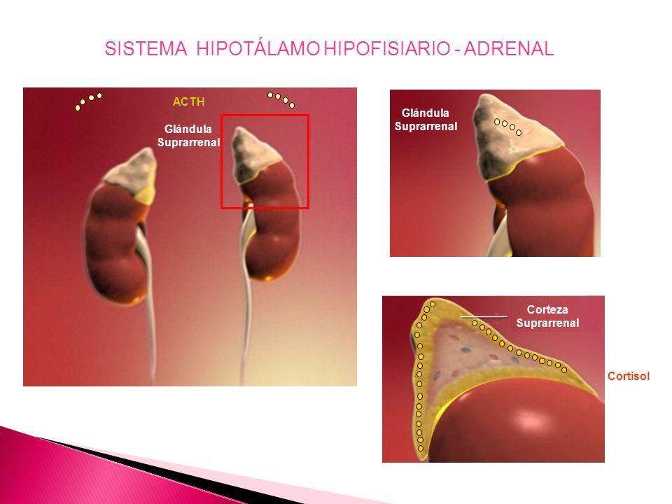 SISTEMA HIPOTÁLAMO HIPOFISIARIO - ADRENAL