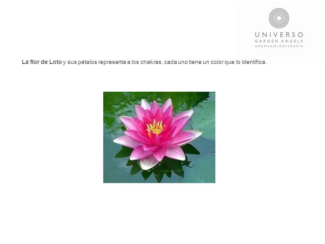 La flor de Loto y sus pétalos representa a los chakras, cada uno tiene un color que lo identifica.
