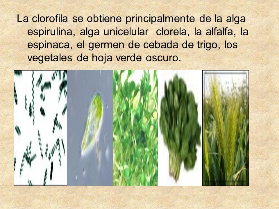 La clorofila se obtiene principalmente de la alga espirulina, alga unicelular clorela, la alfalfa, la espinaca, el germen de cebada de trigo, los vegetales de hoja verde oscuro.