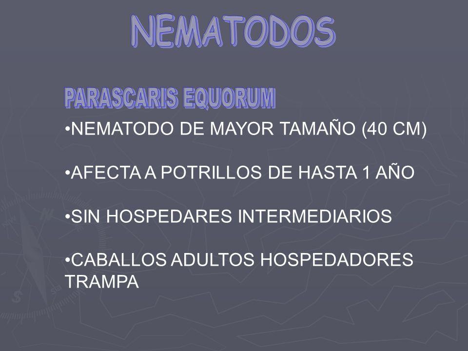 NEMATODOS NEMATODO DE MAYOR TAMAÑO (40 CM)