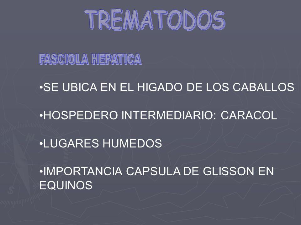 TREMATODOS FASCIOLA HEPATICA SE UBICA EN EL HIGADO DE LOS CABALLOS