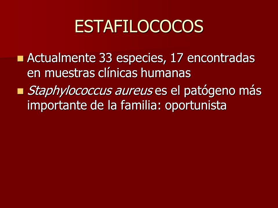ESTAFILOCOCOS Actualmente 33 especies, 17 encontradas en muestras clínicas humanas.