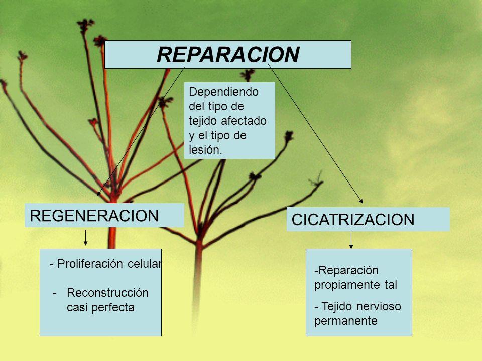 - Proliferación celular